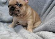 Bulldog frances fawn merle disponible