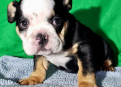 Black three bulldog ingles en venta