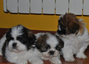 Shih tzu cachorritos disponibles