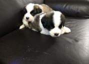 San bernardo cachorritos disponible