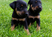Pincher cachorro disponibles