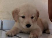 Golden retrievet cachorritos
