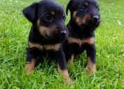 Pincher lindos cachorros