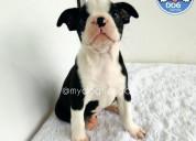 Macho boston terrier my dog tienda