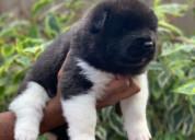 Tienda de mascotas vende akita americano