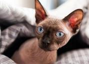 Hermosos y disponibles gatos sphynx esfinge