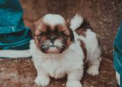 Shitzu miniatura cachorros hermosos