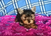 Perritos hermosos yorkie miniatura cachorros