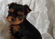 Yorkie miniatura disponibles perritos