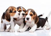 Hermosos cachorros beagle disponibles