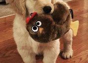 Divinos cachorros golden retriver disponibles