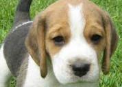 Estupendos beagle cachorros muy activos