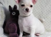 Lindos cachorros chihuahua a la venta ahora