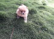 Garantizados pomerania lulu cachorros