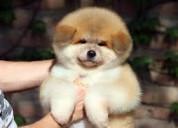 Veny lleva tu mascota  de raza pura akita japones