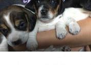 Hermosos cachorros beagle en adopción gratuita