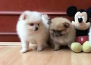 Disponibles pomerania cachorros pequeños