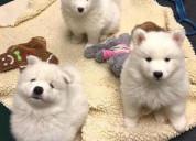 Samoyedo cachorros excelentes disponibles