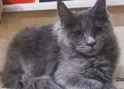 Lindos gatos maine coon disponibles